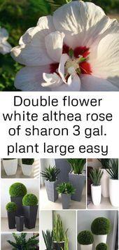 Weisse Althea Rose Der Doppelten Blume Von Sharon 3 Gallone