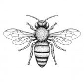 Honey bee engraving illustration on white backgrou…
