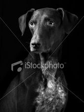 A Serious German Pointer With Images Pet Insurance Cost Pet Plan Best Pet Insurance