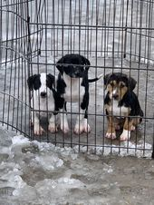 Adopt Beagle Corgi Mix Pup On Corgi Mix Puppies Corgi Mix