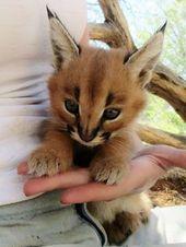 Wenn du ein Katzenliebhaber bist, hast du Glück, denn wir haben die süßeste Katzenart der Welt gefunden! Karakals sind einfach herrliche Katzen, die schon im alten Ägypten verehrt wurden. Sie erscheinen auf Gemälden, bronzenen Figuren und Statuen, welche die Gräber der Pharaonen bewachen. Karakals stammen ursprünglich aus Afrika, dem nahen Osten und dem indischen Subkontinent. Voll ausgewachsen können sie bis zu 18 kg wiegen und Geschwindigkeiten von 80 km/h erreichen. Sie sind leicht zu – Tierkinder + Mamas + Papas