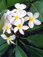 How to Plant Hawaiian Lei Trees
