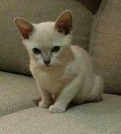 12 Week Old Lilac Burmese Kitten Burmese Kittens Burmese Cat Cats And Kittens