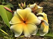"Three (3) Well Rooted Plumeria Seedlings 3 to 5 inches Tall of ""AZTEC GOLD"" Rare & Exotic Plants U."