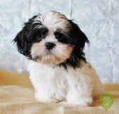Puppies For Sale Michigan Shih Tzu Breeders Puppies For Sale