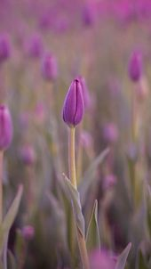 خلفيات ورد للايفون Pink And Purple Wallpaper Purple Wallpaper Iphone Flower Wallpaper
