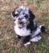 (notitle) – Labradoodle Puppies