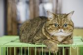 5 Things You Didn't Know About The Exotic Shorthair – Ginger, Orange, Red Kitties
