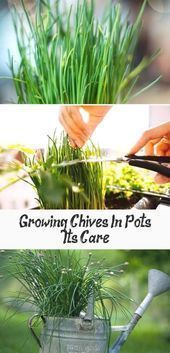 Growing Chives In Pots And Care Learn How To Chives Care Chives Growing Learn Pots The Effective Pictures We Growing Chives Chives Plant Harvesting Herbs