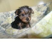 The traits we all enjoy about the Feisty Yorkshire Terrier Puppy #yorkshireterri…   – Herz allerleibst
