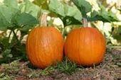 Kleiner Zuckerkürbis   – Growing Pumpkins