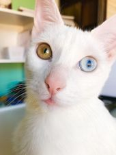 My Little Girl With Heterochromia Iridium She Is Also Deaf In One Ear A Common Genetic Mutation In White Cats With Cat With Blue Eyes White Cats Cat Doorstop