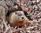 Sal de la hibernación — Esperado del sueño invernal — Saliendo de la Hibernación # …   – rongeurs
