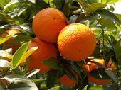 Gründe, warum ein Orangenbaum nicht wächst   – fruitfulness