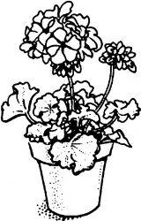 Imagini Pentru Planse De Colorat Flori De Camera Flori