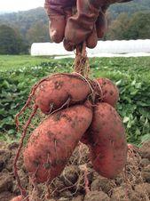 Süßkartoffel anbauen: Infos zu Jungpflanzen, Sorten und Erntezeit