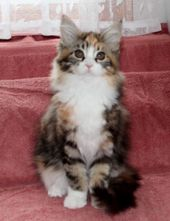 Amerikoons Maine Coon Cats - Kittens | maine coon cats