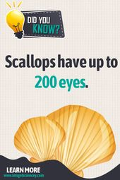 Paying attention comes natural to scallops 2