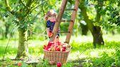 Ein anderes Klima ist angeschlagen: die Apfelernte in Wisconsin    – Kritische Artikel