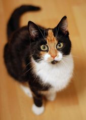 35 popular photos of calico cats that you'll love