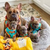(notitle) – Französische Bulldoggenbabys