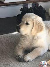"""Aquí hay una foto de Archie. Puedes ver su """"pata especial"""". #goldenretriever #la …   – Tiere"""