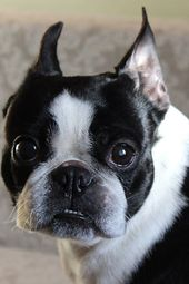 How to Train a Boston Terrier Puppy to Not Bite – Dog Training