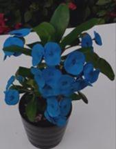 Existe La Corona De Cristo Con Flores Azules Coronas De Cristo Euphorbia Milii Euphorbia