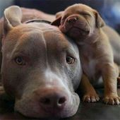 20 lindos cachorros de perro Pitbull   – I ❤️ Pitt Bulls