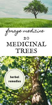 20 Medicinal Trees You Can Forage Medicine From