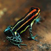 Manicurator Poison Frog Nail Art Digit Al Dozen Animal Week Dart Frog Poison Frog Frog