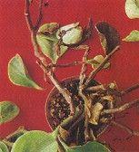 Choroby Roslin Doniczkowych Plants