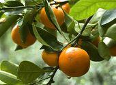 Bauen Sie Ihren eigenen Orangenbaum an   – botany and horticulture