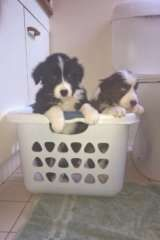 Dna Cleared Pure Bred Border Collie Pups Border Collie Puppies For Sale Albany Creek Queensland O Border Collie Puppies Collie Puppies For Sale Border Collie