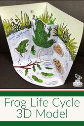 Frog Life Cycle Model – 3D Model