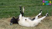 Funny Fainting  Goats.
