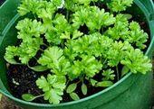 Comment faire pousser du persil sur le balcon?   – bahçe