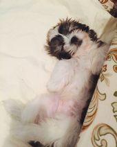 #shitzu #puppy #cute #baby #chill #dogsofinstagram    – Puppy Winter