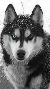 Foto #SiberianHusky   – Animals and pets