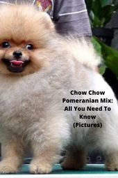 Chow Chow Pomeranian Mix All You Need To Know Pictures Pomeranian Mix Pomeranian Mix Puppies Chow Chow