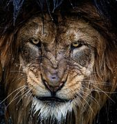 Brown lion nature photography big cats animals portrait – Android, iPhone, Desktop HD Wallpaper – picture's