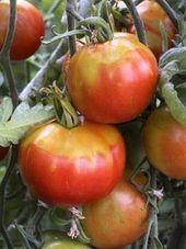 Tomatenkrankheiten und Schädlinge: eine Übersicht über die häufigsten Probleme Hilfe, was hat meine Tomate? Von gegessenen Früchten über braune Flecken bis hin zu aufgerollten Blättern – hier kommt der Tomatenarzt.   – tomaten-pflanzen