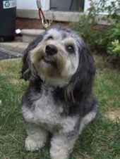 Image result for mauxie dogs   – My Favorite Animals