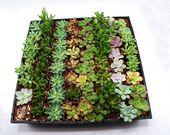 150 Assorted Succulent favors 2″ pot – Wedding favors – Bridal shower favors – Party favors – bulk succulents – wholesale succulents -cactus
