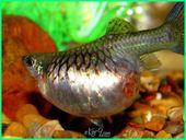 Ciri Ciri Ikan Guppy Hamil Persiapan Menyambut Anakan Guppy