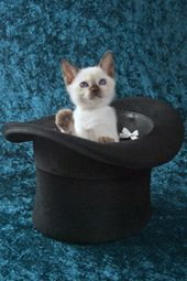 12 Wk Old Top Cat Tonkinese Cat Cat Photo Cat Top