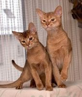Cat Breed: Abyssinian – Playful Kitty