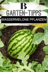 Tips and tricks to plant watermelon
