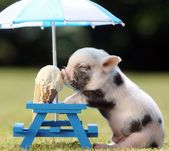 Mini Pig Keeps Cool by Eating an Ice Cream Cone Under a Tiny Parasol