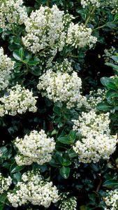 Escallonia Iveyi White Flowering Escallonia For Sale Uk Hedging Plants White Flowering Shrubs Garden Shrubs